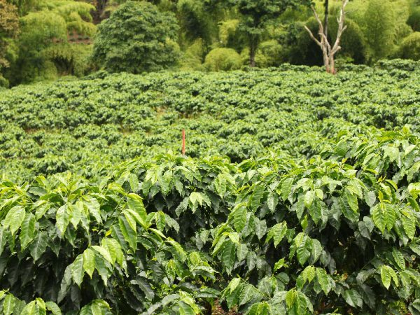 planta de café